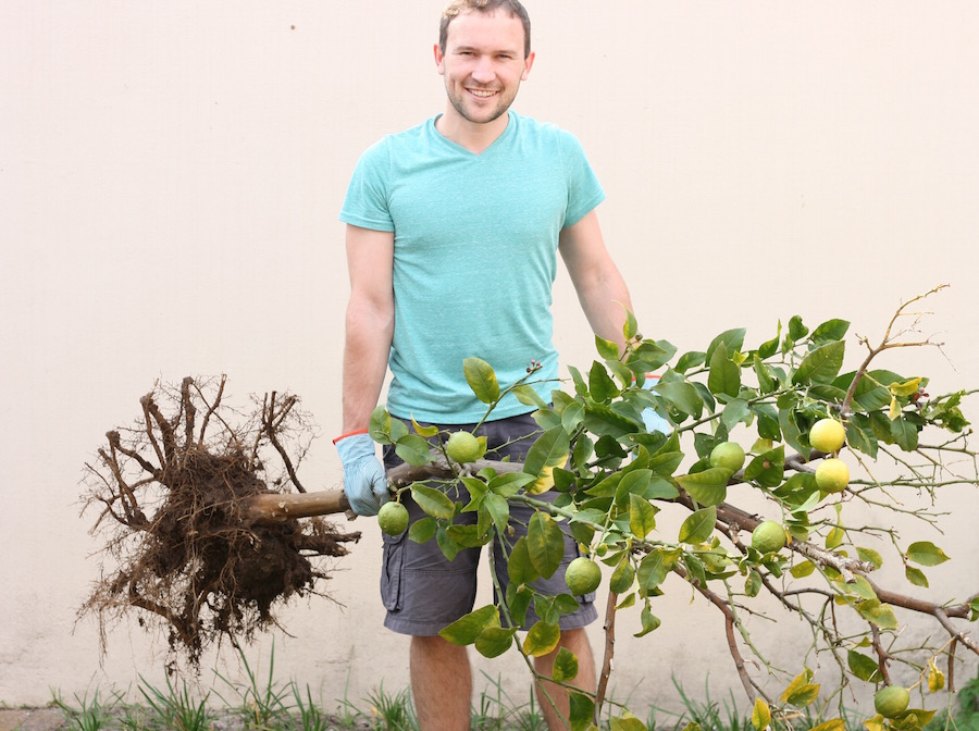 Transplanting lemon tree :: DIY pot
