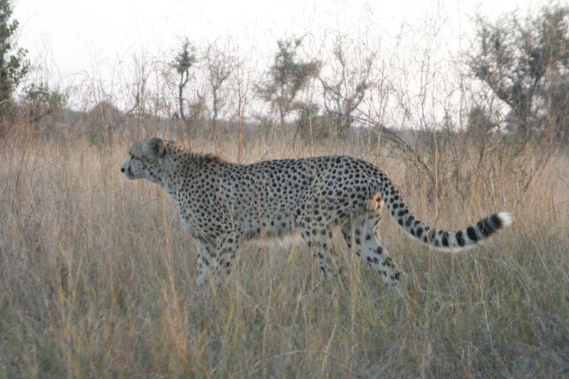 We saw cheetahs and it was amazing // hospital life